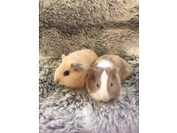 A pair of beautiful baby guinea pigs for sale