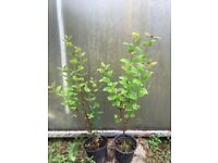 Korean Barberry Hedging plants. £2-50. 32 ins tall potted