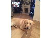 9month old male golden Labrador