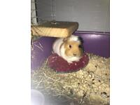 Guinea pig with cage etc