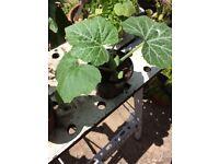 Beautiful Pumpkin plants for sale