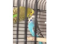 2 Beautiful, young Budgies with Cage and Accessories (Elsa and Anna)