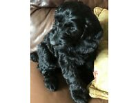 Gorgeous all black cockapoo pups for sale