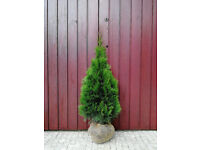 50x Thuja Occidentalis Emerald 'Smaragd' 3-4ft Evergreen Conifers Cheap
