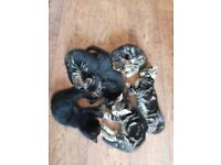 Kittens 3 male 1 femail