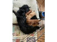 Cockapoo pups for sale