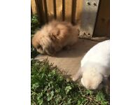 PAIR OF BONDED RABBITS ONLY 7 MTHS OLD MINI LOP DOE AND MINI LION LOP BUCK COMPLETE SET UP