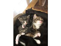 Beautiful blue eyed Main Coone X kittens available