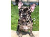 beautiful merle french bulldog girl