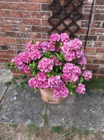 Large hygrengena plant for sale in pot