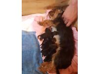 Mini yorkshire terrier pups