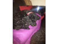 Pedigree black toy poodles for sale