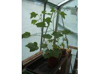 Redcurrant Plants