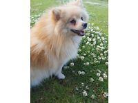 Pomeranian girl 💕