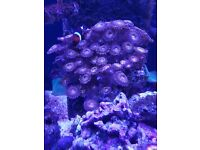 Marine coral zoas mother colony Reverse Space Monsters