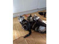 2 Gorgeous Tabby Kittens 1 Male & 1 Female