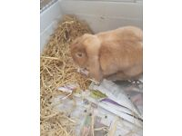 Mini Lop Rabbits for sale