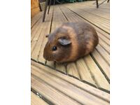 Beautiful baby female guinea pig for sale