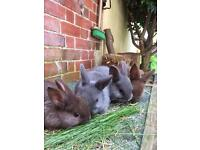 SOLD - Netherland Dwarf bunnies. Ready for re homing.