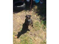 Lakeland terrier girl for sale