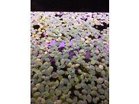 20 x Live Aquarium Floating Plants