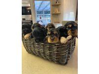 Beautiful KC reg show cocker spaniel puppies