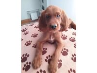 8 beautiful redsetter puppies looking for forever homes
