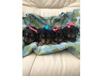 Yorkshire terrier X Yorkalier puppies