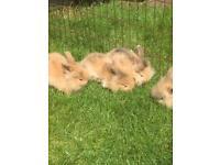 Angora lionhead rabbits