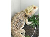 Handsome Male Bearded Dragon
