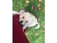 Very nice little dog Pomeranian/chihuahua puppy