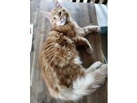 Main Coon Kittens 'Only Ginger One Left'