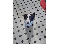 Beautiful border collie needing a forever home