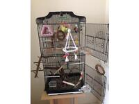 Two hand tame budgies with cage and all toys