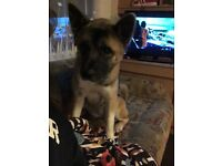 1 year old Japanese Akita for sale!!