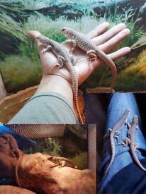Pair of Desert Iguanas