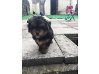 Shi-Poo puppies