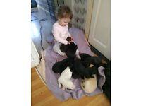 Lurcher puppies £150