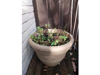 Mint herb plant in plastic pot.