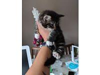 Beautiful fluffy cross kittens