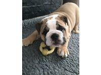 Ready now British bulldog puppies kc reg fawn and white champion bloodlines ready now!!