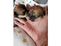 Two gorgeous chihuahua puppies for sale