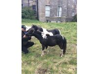 Miniature horse yearling