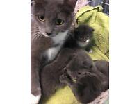 Beautiful Grey Kittens