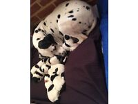 Beautiful Dalmatian x border collie puppies for sale.