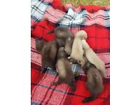 7 baby ferrets for sale.