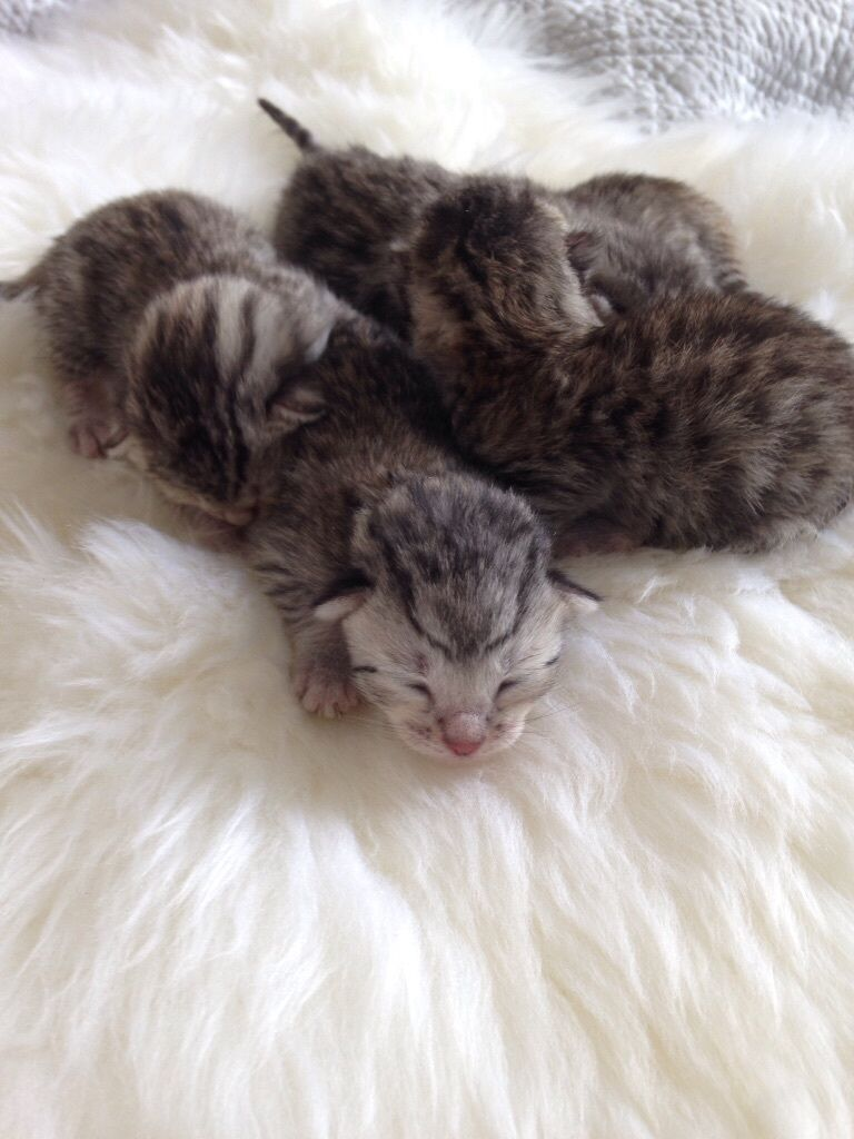 7 pedigree Bengal kittens 5 Silver and 2 Melanistic / Chorcoal