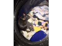 Female rats for sale