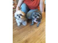 Shih Tzu Puppies for sale 1 black and white boy and 1 tri-colour girl