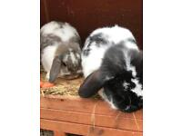 GOOD HOME WANTED FOR 2 RABBITS